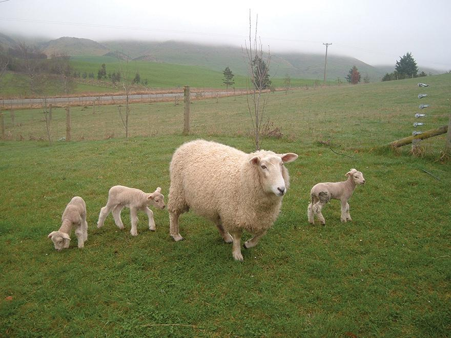 Feeding over mating for a bigger and earlier lamb crop