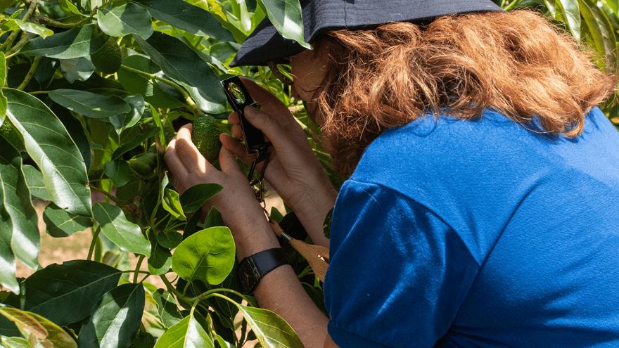 Avocado monitoring expands northward