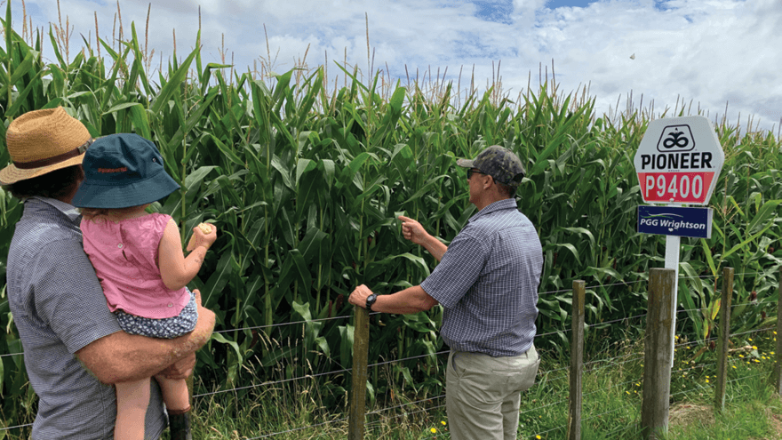 Maize silage: a reliable and nutritious feed