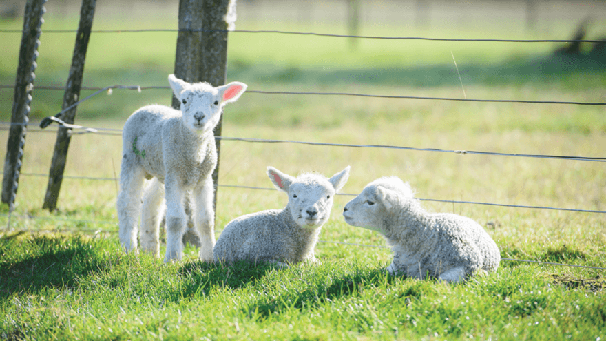 Caring for newborn lambs