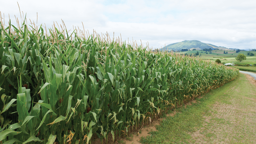 The effects of soil fertility on growing maize
