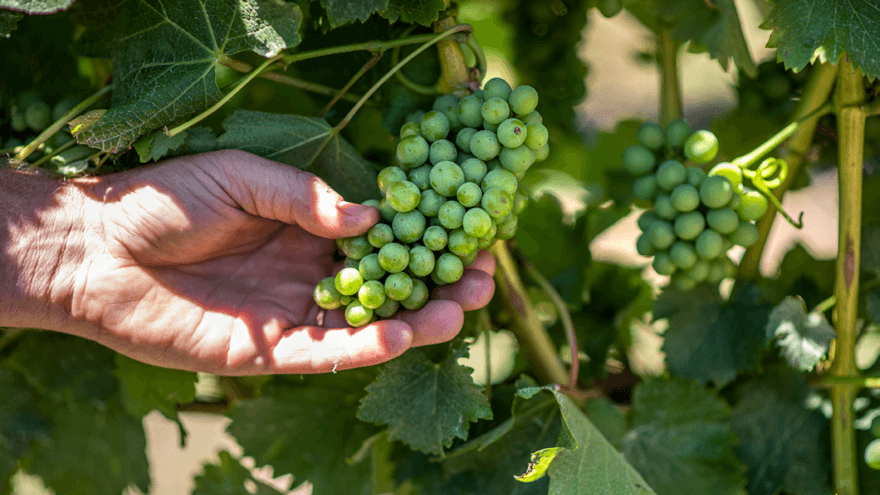 Drop in yield boosts grape quality for 2021 harvest