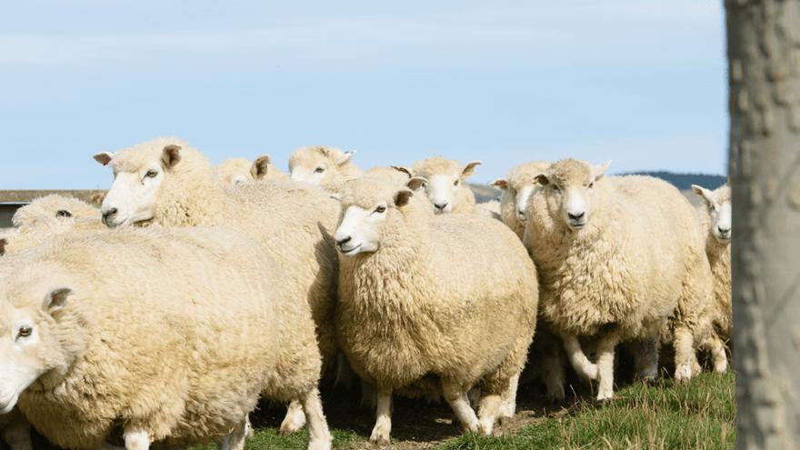 Influencing lamb survival