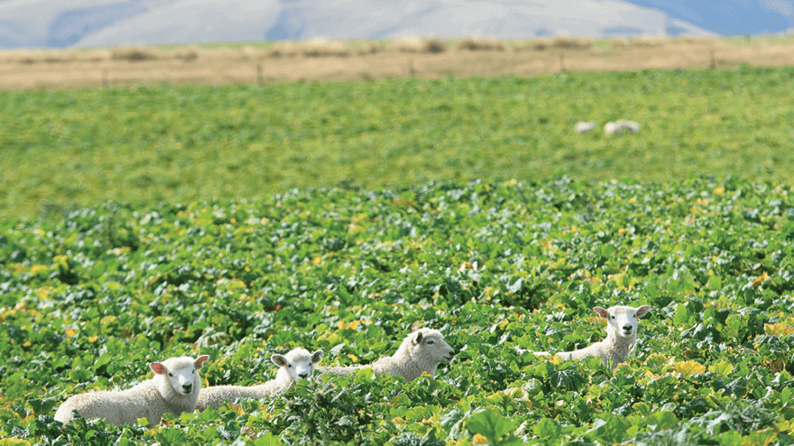 Optimising young lamb growth rates