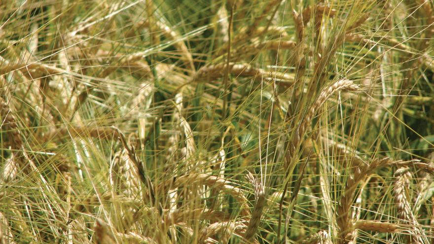 Successful autumn sown cereals
