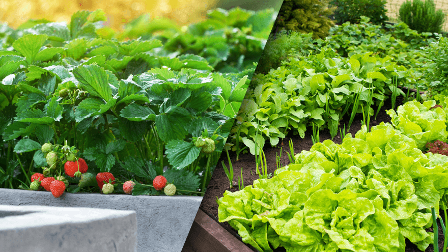 Tim's tips for a bountiful vegie and berry patch – part one