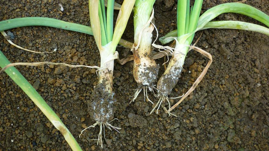 White rot control strategies