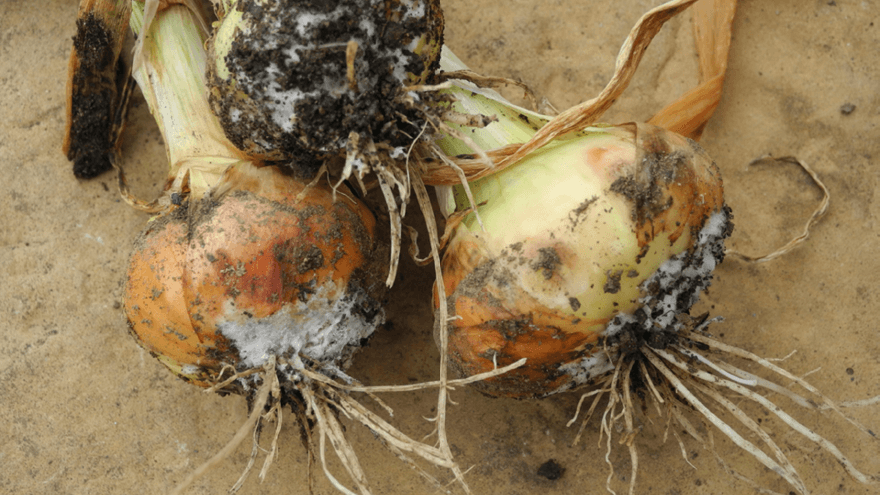 Timing critical for white rot control