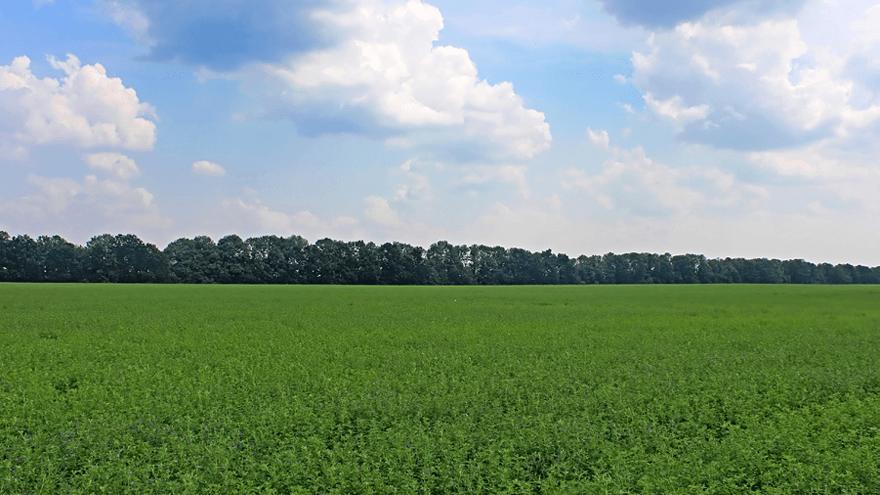 Managing weed pressure in lucerne this winter