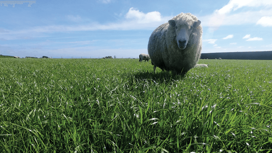 New ryegrass genetics improves production