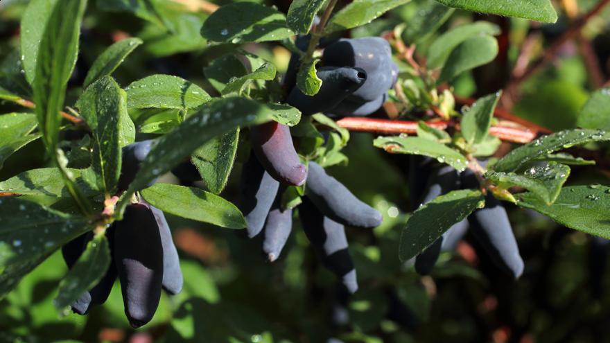 Family venture to grow haskap berries in South Canterbury