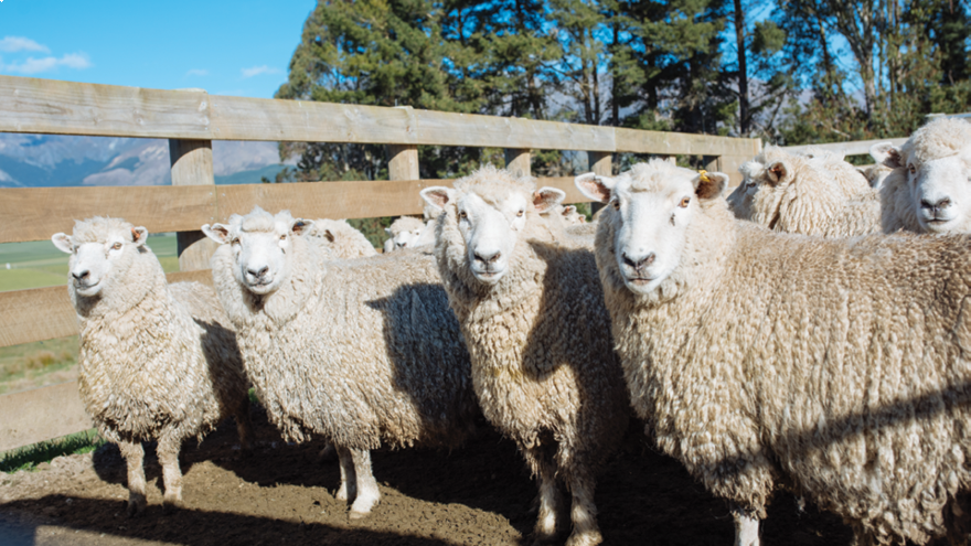 Planning your summer lamb drenching programme