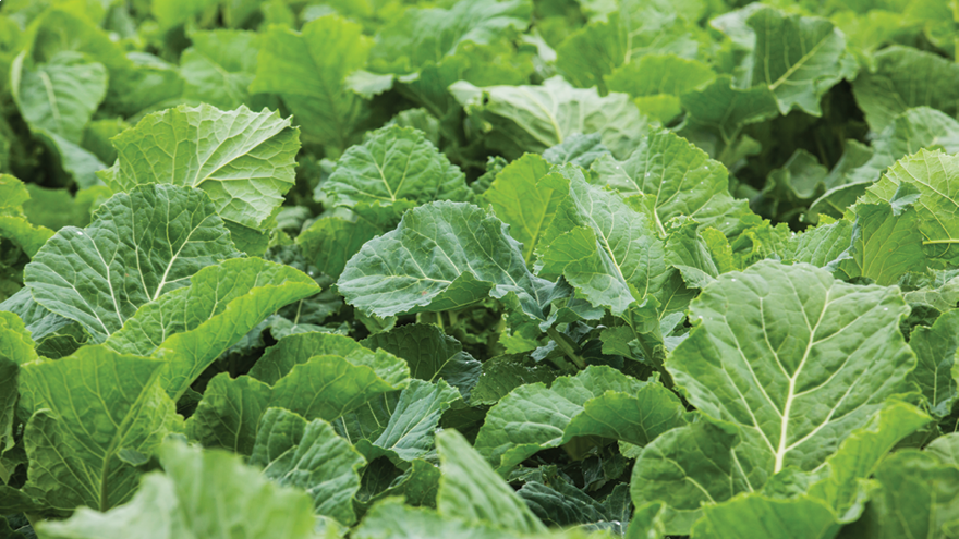Brassica establishment and weed control