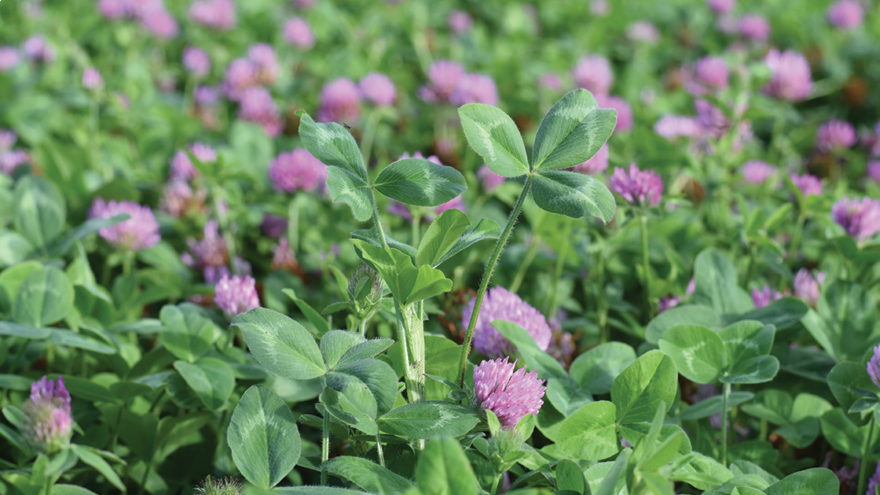 Boosting animal performance with red clover