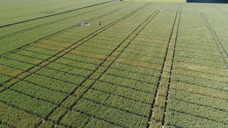 New Zealand growers first in the world to use new wheat fungicide