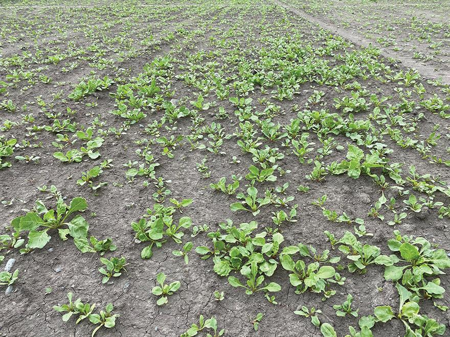 Stop the build-up of weed beet on your farm