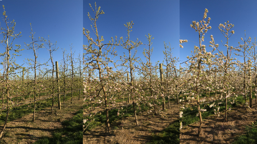 Effective bloom compaction in pipfruit