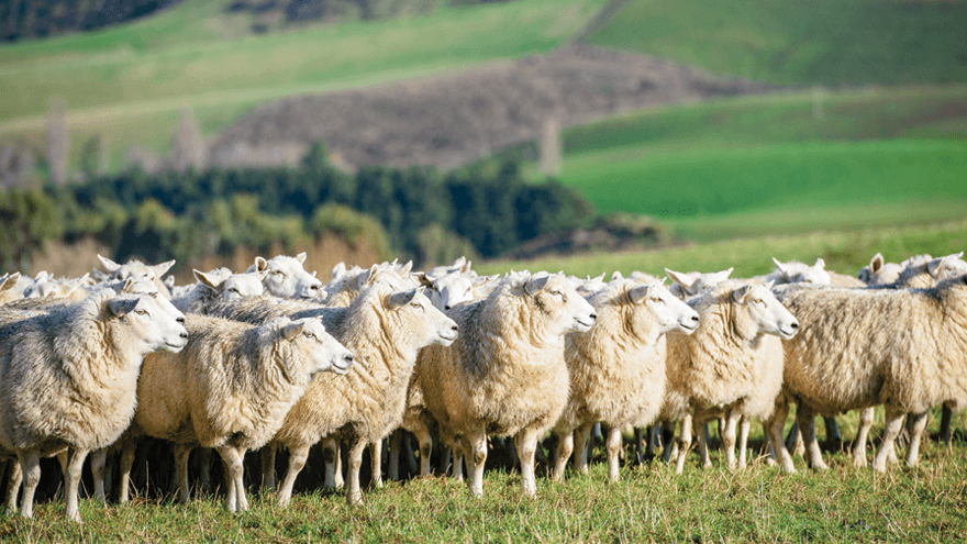 Vaccinate pre-lamb to protect colostrum quality