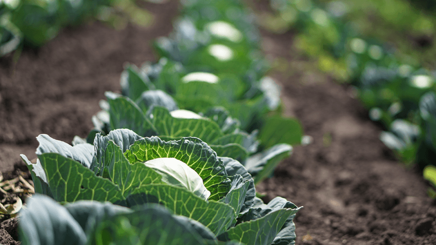 Clubroot fungicide protects brassicas from day one