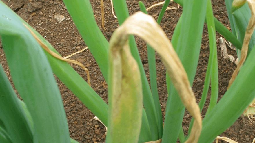 Fungal disease control in vegetables