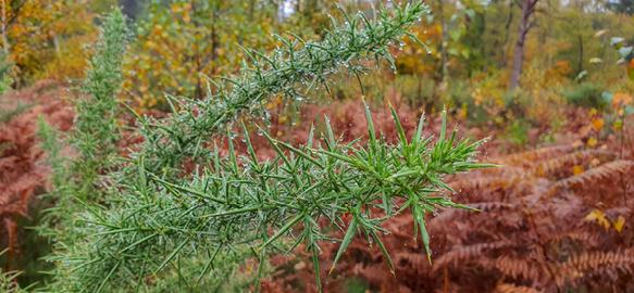 Brushweed